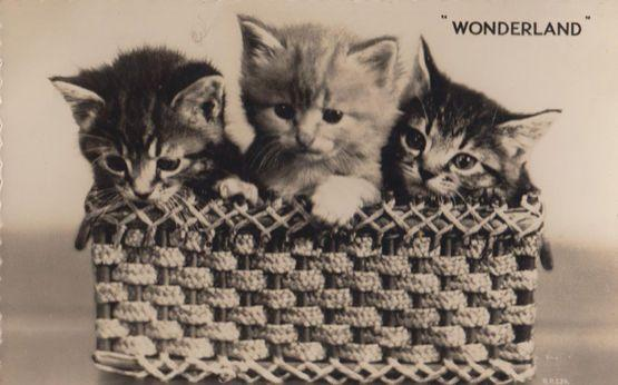 Wonderland Cats In Basket Vintage Real Photo Postcard