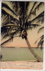 Coconut Tree, Palm Beach Fla