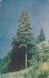 Only God can make a tree, Tall, stately pine tree of the Western Mountains, 4...