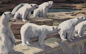 ROYAL OAK , Michigan , 1930-40s ; Polar Bears , Zoo