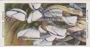 Wills Vintage Cigarette Card The Sea-Shore No 33 Goose Barnacles  1938
