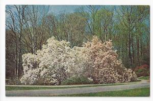 Winterthur DE Magnolia Trees Henry Du Pont Museum 4X6