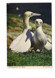 Gannets, Bonaventure Island, Perce Quebec