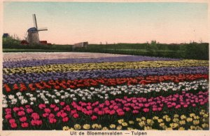 Tulips,Netherlands BIN