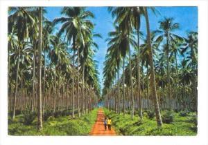 Coconut Plantation, Basilan City , Philippines 50-60s