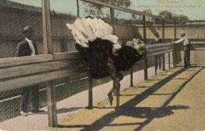 BLOOMSBURG , Pennsylvania, 1910 ;African Ostrich Farm