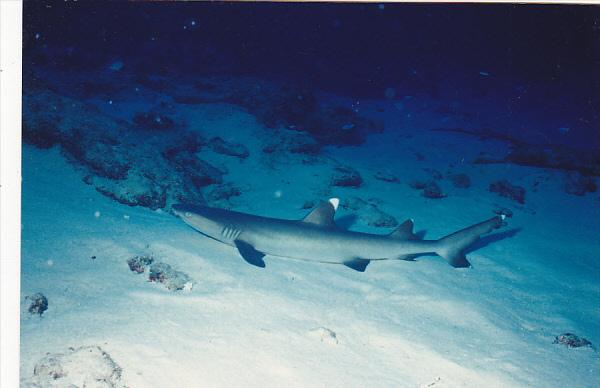 Micronesia Pohnpei Underwater Scene With Shark