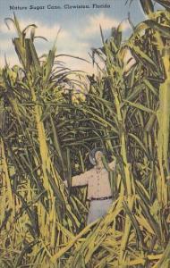 Florida Clewiston Mature Sugar Cane