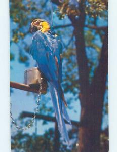 Pre-1980 MACAW BIRD AT WILD ANIMAL FARM Hudson Center New Hampshire NH hn4623