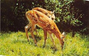 Deer Post Card Spotted Deer Unused