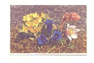 Auricula Gentian Anamone, Swiss Flower Series,