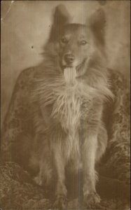 Collie Dog Citting on Chair w/ Tongue Out c1910 Amateur Real Photo Postcard