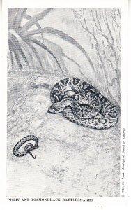 .Pygmy & Diamondback Rattlesnakes      St Louis Zoo