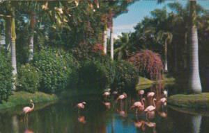 Flamingos Sarasota Jungle Gardens Sarasota Florida