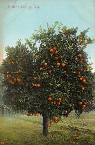 A Navel Orange Tree, 00-10s