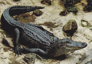 Wildlife of East Africa , Crocodile , 50-70s