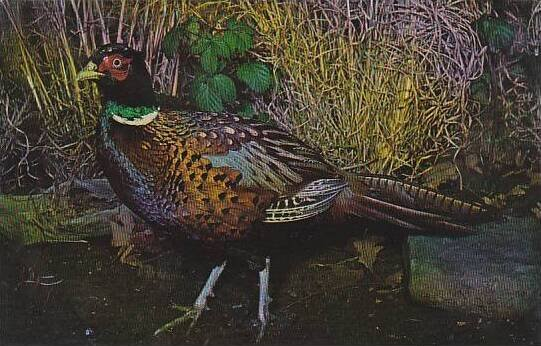 South Dakota Ring Necked Pheasant