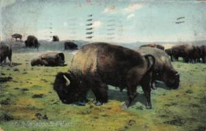 Canadian Buffalo, Winnipeg, Manitoba, Canada, PU-1907