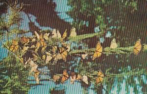 California Pacific Grove Monarch Butterflies At Butterfly Trees Park