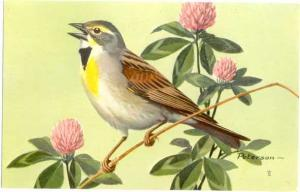 Dickcissel (Spiza americana) by Painted by Peterson 1957