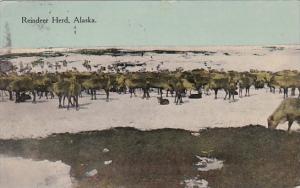 Alaska A Reindeer Herd 1916