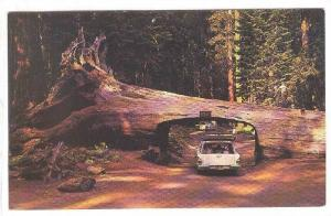 Tunnel Drive-thru Tree in the World-Famous California Redwood Forests, 40-60s