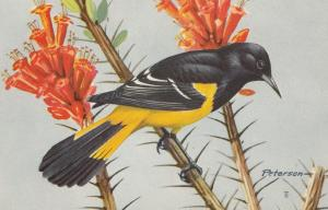 Scotts Oriole Bird Postcard