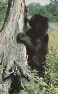 Bear Cub Greetings from Lakefield, Ontario, Canada - pm 1969