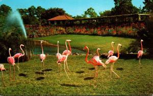 Birds Flamingos At Parrot Jungle Miami Florida 1974
