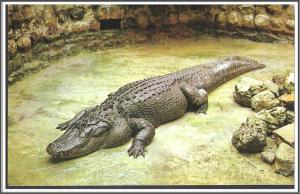 Florida - Huge Alligator - [FL-081]