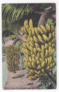 HI Banana Bunch from Hawaiian Islands Territory Vntg Island Curio Co Postcard