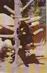 California San Diego Zoo Southeastern Asia Sun Bear