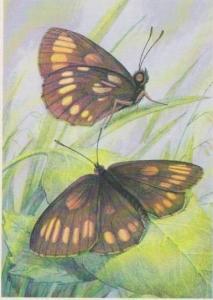 Czech Informational Species Card: Erebia theano Tausch, Brown & Yellow Butter...