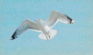 Birds Maine Sea Gull In Flight