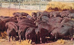 Pigs Hogs we Raise Moline, Illinois USA 1911 Missing Stamp