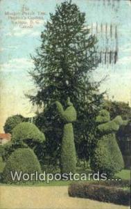 British Columbia, Canada Monkey Puzzle Tree, Pendray's Gardens Victoria  Monk...