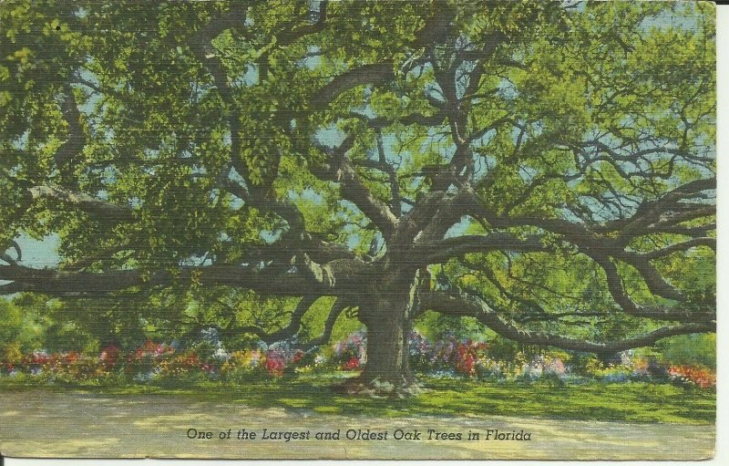 One Of The Largest And Oldest Oak Trees In Florida