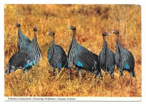 African Birds Vulturine Guinea Fowl John Hinde Postcard