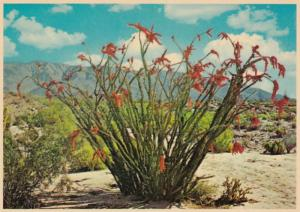 Arizona Desert View With Ocotillo Cactus