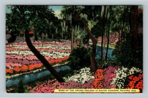 Palatka FL, Some Of 105,000 Azaleas In Ravine Gardens, Linen Florida Postcard