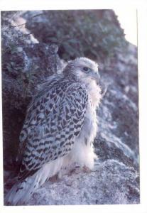Greenland, 60-80s , Falcon