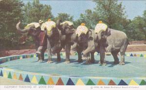 Elephant Training St Louis Zoo Misouri