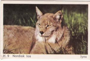 Trade Card Dandy Gum Wild Animals H 09 Lynx