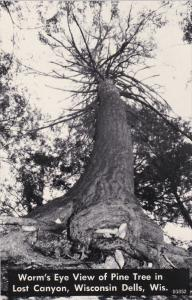 Worm's Eye View of Pine Tree in Lost Canyon, WISCONSIN DELLS, Wisconsin, 40-60's