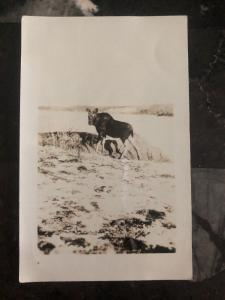 Mint Canada Real Picture Postcard Moose Canadian Park