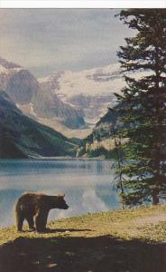 Black Bear Roaming At Lake Louise Canadian Rockies Canada