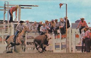 Canada Calgary Stampede Wild Steer Roping