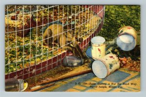 Miami FL-Florida,Parrot Jungle, Capupuchine Monkey getting a nut, Linen Postcard