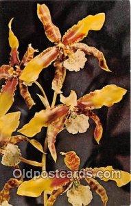 Odontoglossum Grande Lindley Unused