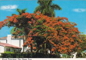 Florida Flowers Royal Poinciana Tree or Flame Tree